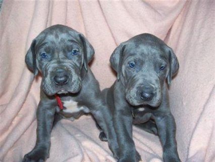 Great Dane male and female puppies to give out222