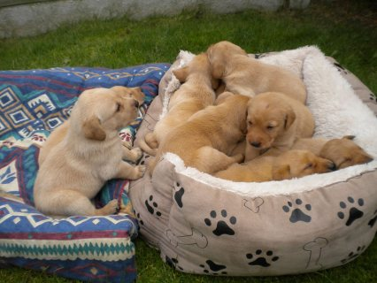 صور Beautiful Labrador Puppies for adoption111 1