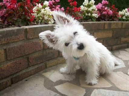 West Highland Terrier Puppies for adoption1111