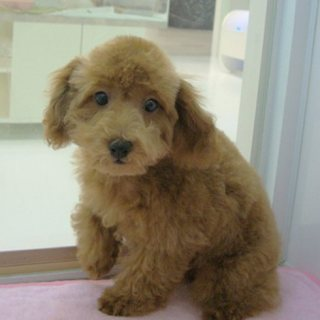 Poodle Puppies For Rehoming222