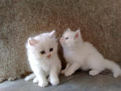 White Color Male and Female Persian Kittens For Rehoming111