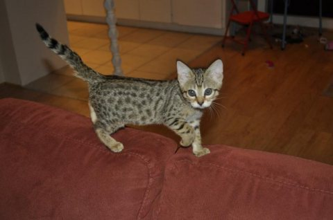 صور Cute Savannah male and female kittens for sale111 1