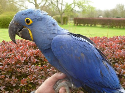 Top quality Pair of hyacinth macaw parrots for adoption