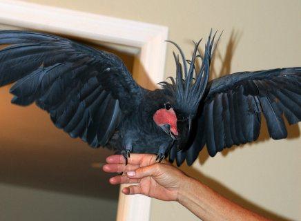 black palm cockatoo parrots for sale