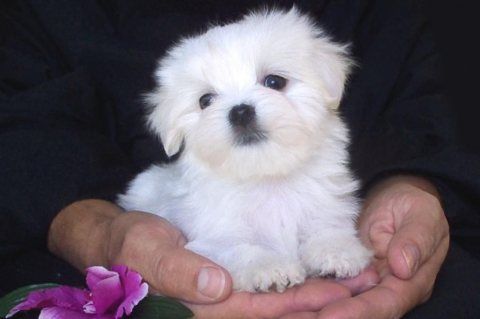 MALTESE CROSS FRISE PUPPIES