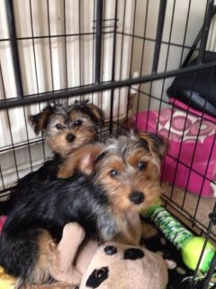 yorkshire terrier puppies looking for good homes