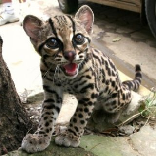 Lovely Margay Cats,,,,,,,,,,,,,