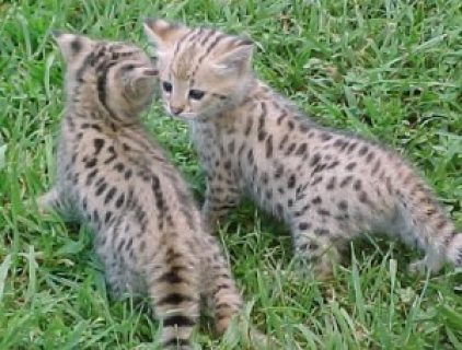 savannah kittens for re-homing.,,,,,,,,,,....................
