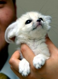 LOVELY AND FREINDLY FENNEC FOX FOR ADOPTION