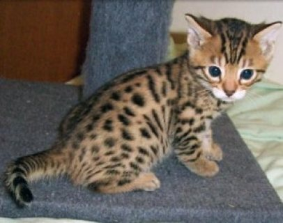 صور Wonderful Bengal Kittens available for sale.,,,,,,,,,,,,, 1