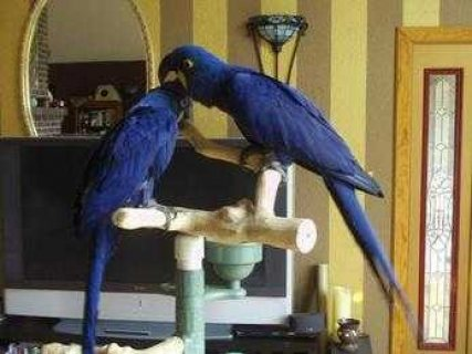 A Bonded Pair Of Hyacinth Macaw 555