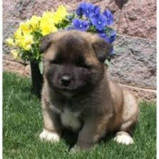 Purebred and Standard American Akita Puppies