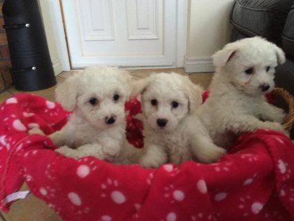 Full pedigree kc reg bichon frise pupies