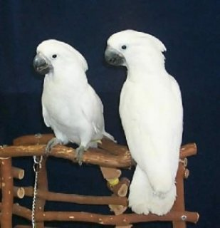 male and female of Umbrella Cockatoos parrots for Sale
