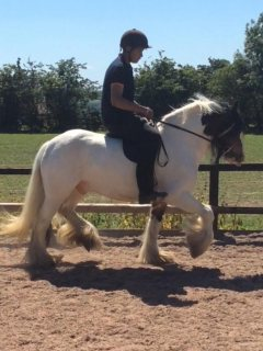 14.1 ride and drive gelding good for adorption