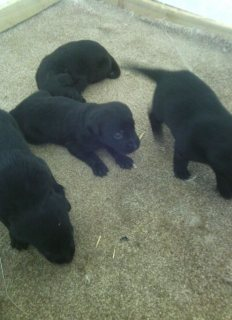 صور Black Labrador pupies good for adorption 1