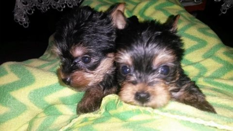 Adorable full pedigree Mini Yorkshire Terrier puppies