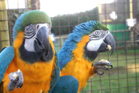 Home raised Blue And Gold Macaw Parrots Available..