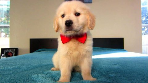 golden retriever puppies, available