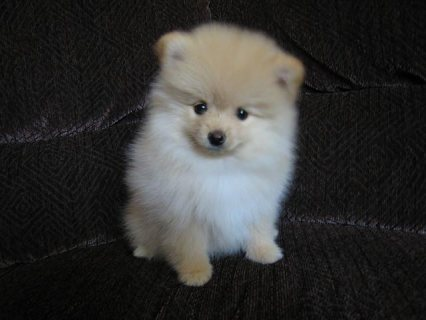 صور Cute Pomeranian Puppies For New Homes 1