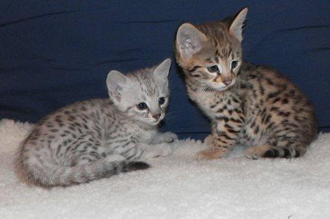 Cute Baby Savannah kittens for sale