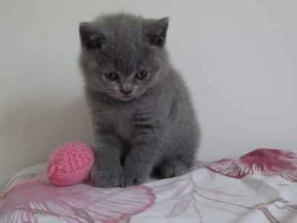 British Short Hair Kittens Available For New Homes
