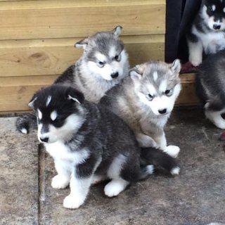 Wonderful Siberian Husky Pups Available