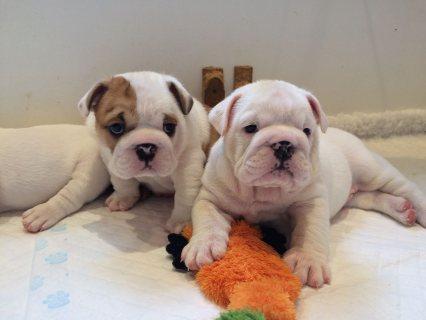 beautiful little medium cream English Bulldog