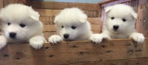 Beautiful Male and Female Samoyed Puppies