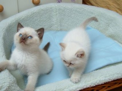 صور Cute Male And Female Ragdoll Kittens ,,,,,, 1