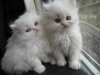 Persian Kittens Available..........