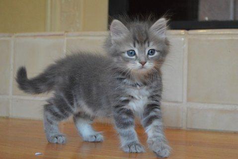 Siberian Kittens Available.........