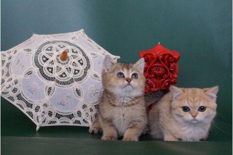 Scottish Fold Kittens Available//////