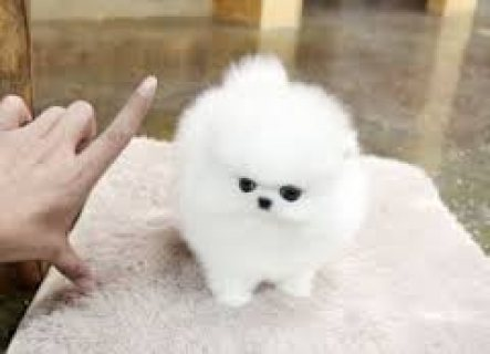 Good Looking Pomeranian Puppies for adoption,,,,...