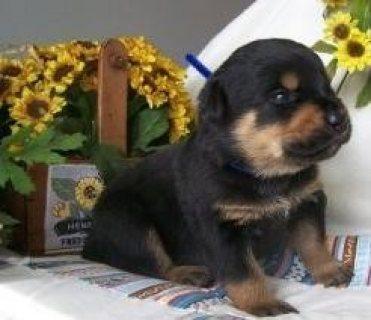 Rottweiler puppies//////