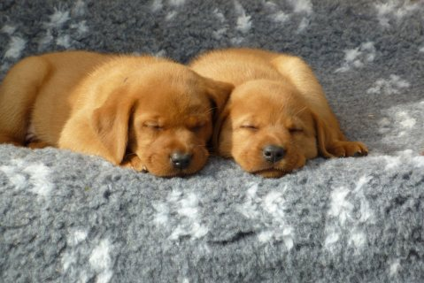 Labrador Puppies ..///