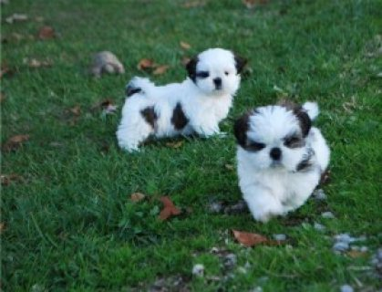 Shih-Tzu puppies////