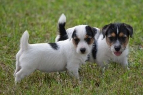 Jack Russell//////