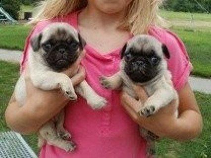 Pug Puppies/////