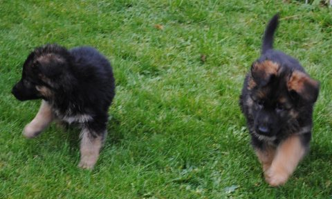 German Shepard Puppies for sale////////