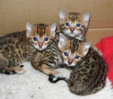 These cute adorable Bengal kittens are ready for re homing