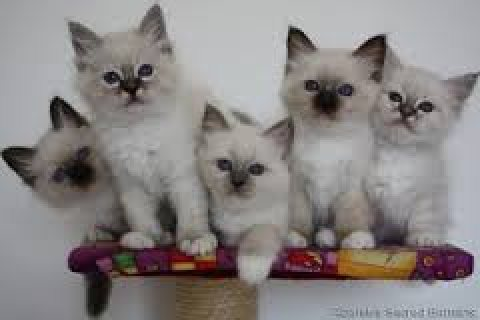 Adorable cute male and female birman kittens for sale