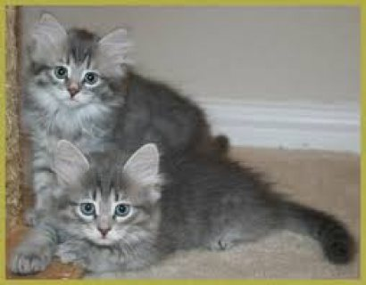 Male and female Siberian kittens ready for sale
