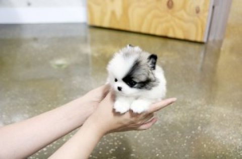 PRECIOUS TEACUP POMERANIAN PUPPIES