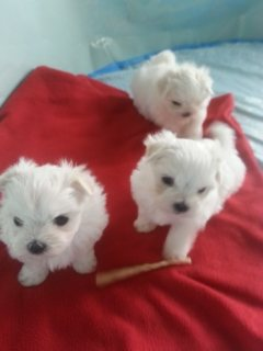 صور Two Maltese puppies ready now 1