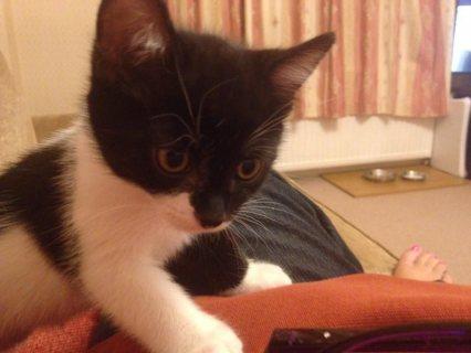 Beautiful 2 black & white kittens male ready in 2 weeks