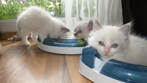 Registered Ragdoll Kittens for sale