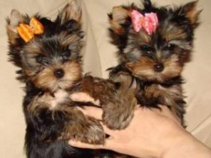 male and female yorkie puppies/..//.
