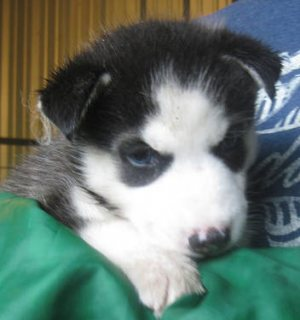 Adorable CKC Siberian Husky puppies