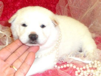 Shiba Inu puppies ready for sale